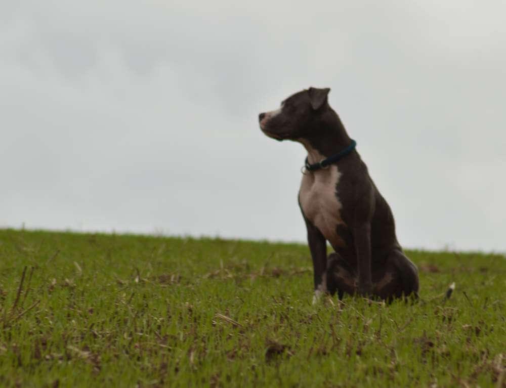 Stevo Hund